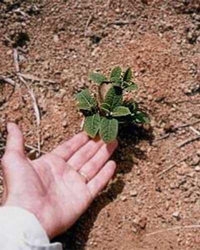 Teakplantage - Die Teakpflanze nach 12 Tagen