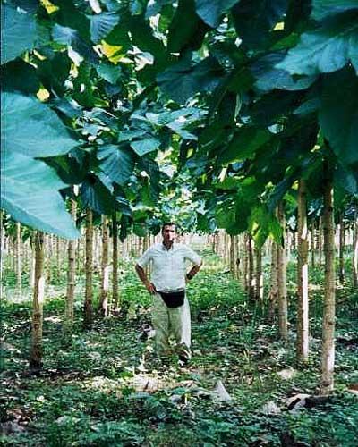 Teakplantage - mit 2 Jahre alten Bäumen