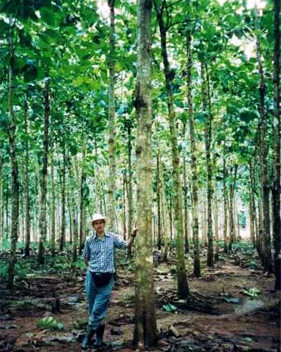 Teakplantage - Teakbäume im Alter von 4 Jahren